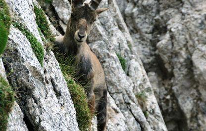 Steinbock in der alpinen Landschaft des Polsters